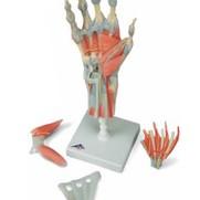 Hand met spieren