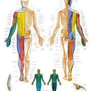 Spinale zenuwen